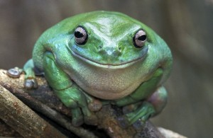 smiling-frog